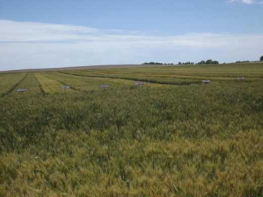 Karber Wheat Plot 2015